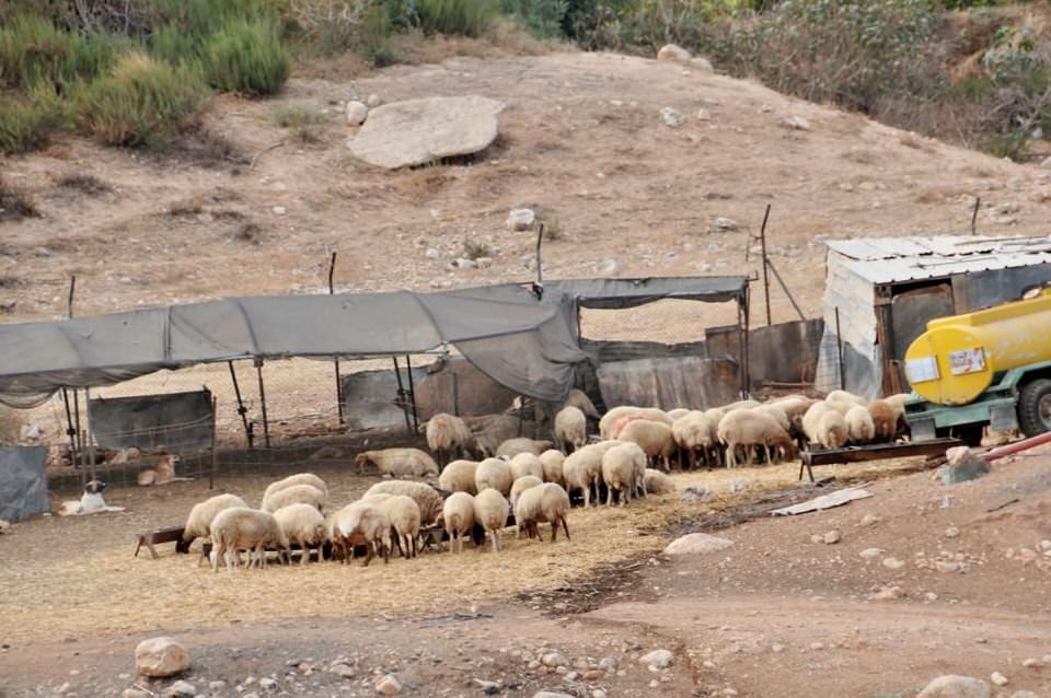 Bedouin sheep herd, Ramallah Palestine