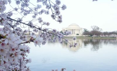 Spring Cherry Blossoms, Washington DC Cherry Blossoms, traveling alone