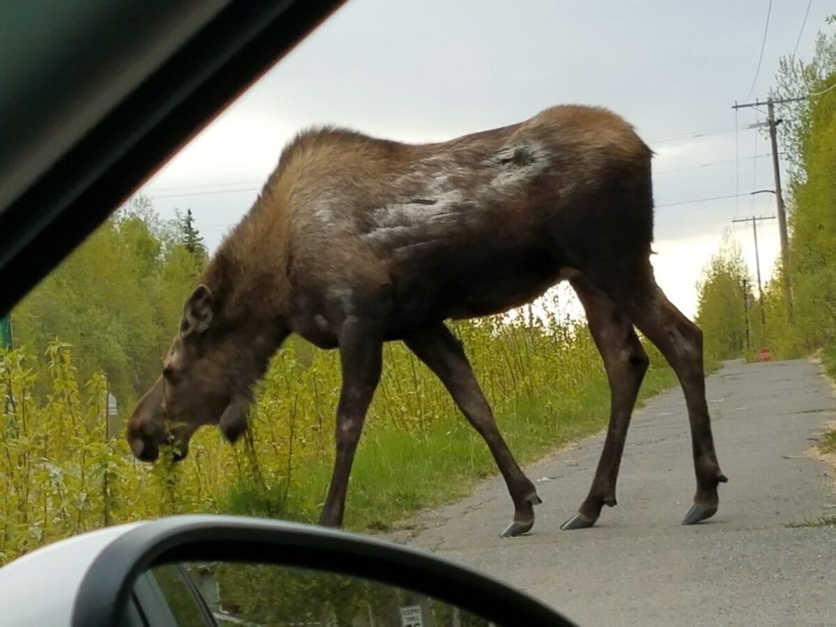 Amazing Wild Alaskan Animals